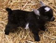 Kids! RARE African Pygmy Goat Kids – Ship Nationwide and Internationa