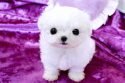 Lovely Tea cup Maltese puppies for re-homing