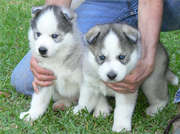 ADORABLE SIBERIAN HUSKY PUPPIES FOR for adoption
