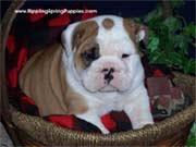 English Bulldog pups all shots and deworming one year health warranty