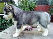 Awesome Siberian husky Puppies For Adoption