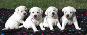 WHITE ENGLISH LABRADOR PUPPIES FOR SALE