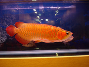SUPER RED AND CHILI RED AROWANAS FOR SALE