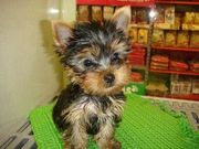 Affcetionate Yorkshirre puppies available for X mas