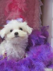 TWO CUTE TEACUP MALTESE PUPPIES FOR X-MAS