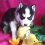 Beautiful AKC Siberian Husky puppies